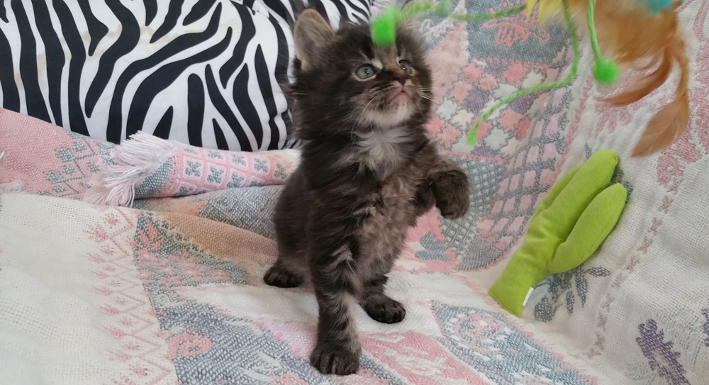 Five week old brown classic tabby femaie Maine Coon kitten for sale.