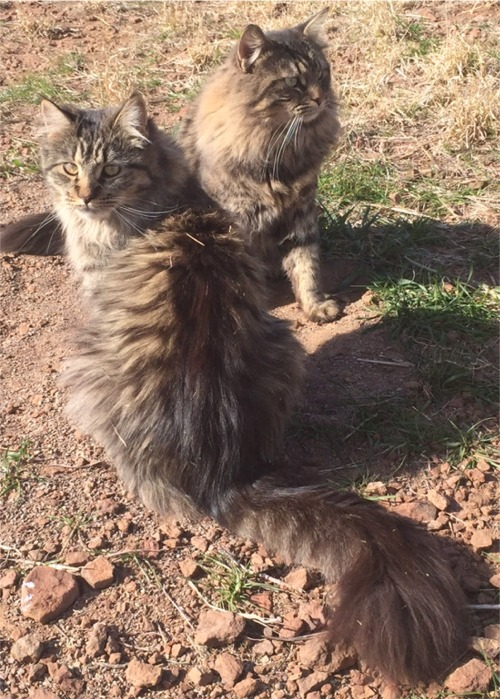 "alt=""Bell and Brewster of Sweeney Farm Alpine, Texas brown mackerel tabby pedigreed Maine Coon Cats."