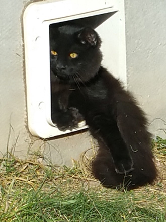 Sweeney Farm Bexar a solid black pedigreed Main Coon Cat.