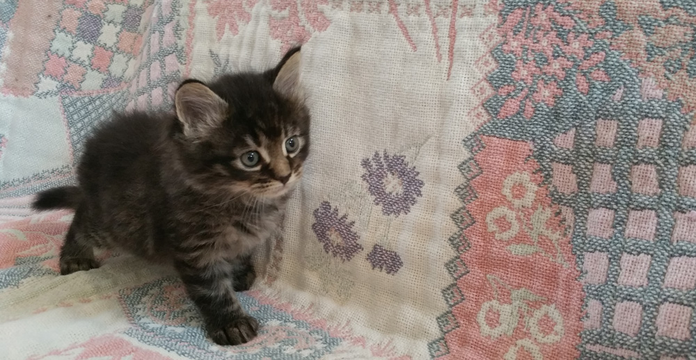 Pedigreed Maine Coon kitten for sale, silver tabby male.