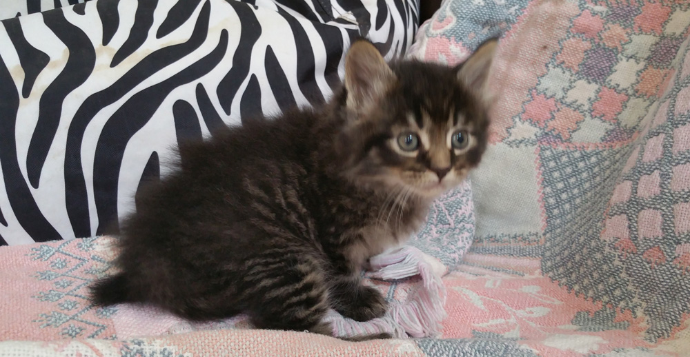 Maine Coon kitten available mid July, silver tabby male.